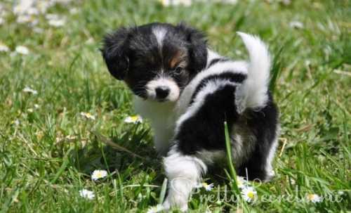 порода собак корги: описание, характеристика, уход и содержание, плюсы и минусы смышленых малышей
